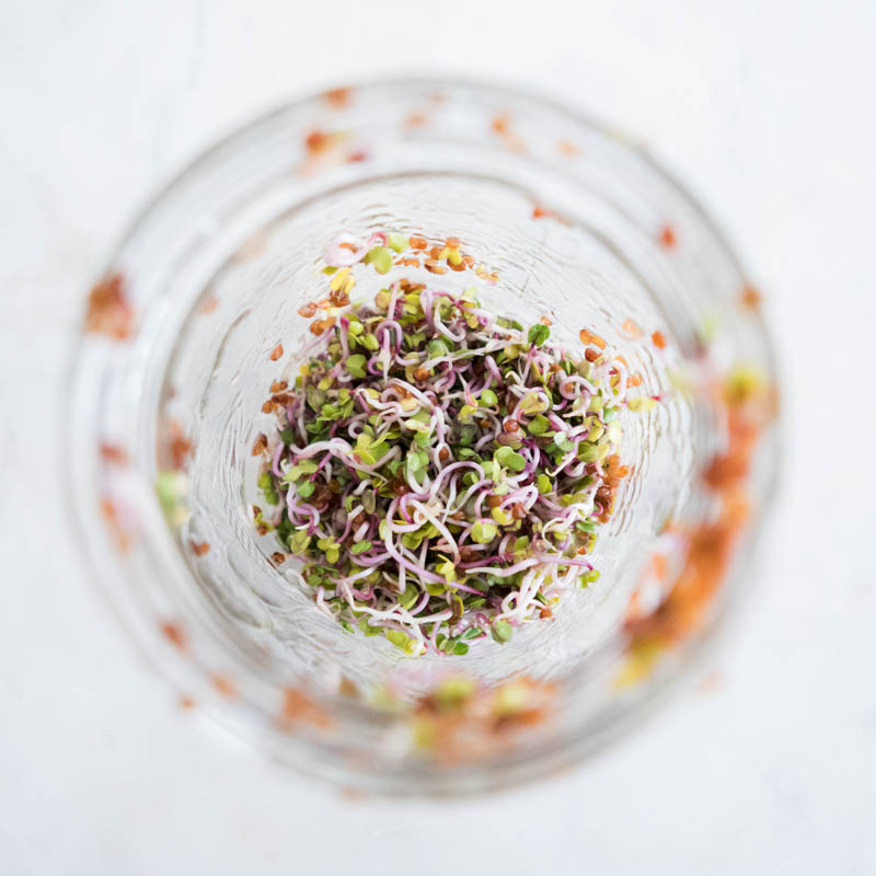 How To Grow Alfalfa & Radish Sprouts at Home