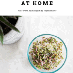 how to grow alfalfa sprouts at home